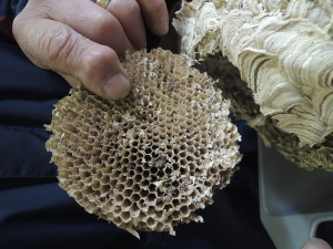 wasp nest 003